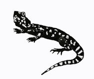 Agama lizard. A big black lizard male Stock Image