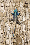 Agama Lizard Royalty Free Stock Photo