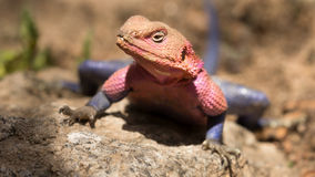 Agama lizard Royalty Free Stock Images