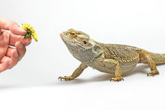 Agama lizard is coming to female hand Royalty Free Stock Photography