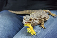 Agama lizard with dandelion on the female lap Stock Images