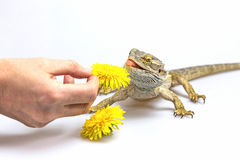 Agama lizard is feeding by a dandelions flower Royalty Free Stock Photos