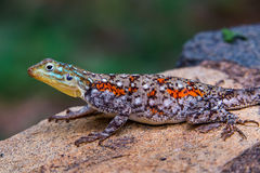 Agama Lizard Royalty Free Stock Photography