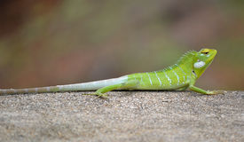 Agama Lizard Green Royalty Free Stock Photos
