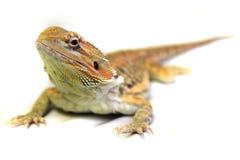 Agama lizard stock photography