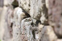 Agama lizard. Laudakia caucasia in the stones Royalty Free Stock Photo