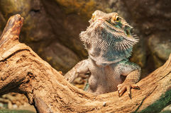 Agama lizard Royalty Free Stock Photos