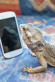 Agama lizard is looking at smartphone Royalty Free Stock Images