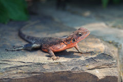 Agama. Lizard is lying on a stone in Serengeti national park Stock Photos