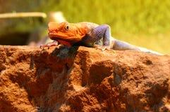 Agama lizard male 3 Stock Photos