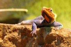 Agama lizard male 4 Stock Photos
