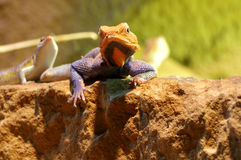 Agama lizard male 5 Royalty Free Stock Photography