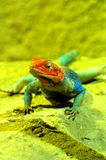 Agama lizard male 2 Royalty Free Stock Image