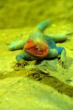 Agama lizard male Stock Photos