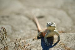 Agama lizard. Agama is the name of the genus of a group of small, long-tailed, insectivorous lizards, and the common name of these lizards Royalty Free Stock Photo