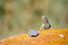 Agama lizard. Agama is the name of the genus of a group of small, long-tailed, insectivorous lizards, and the common name of these lizards Royalty Free Stock Images