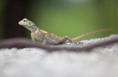Agama lizard  Nigeria Royalty Free Stock Photos