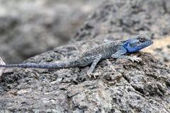 Blue-headed agama. Agama lizard pretending a rock, Massirah island, Oman Royalty Free Stock Photo
