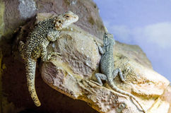 Agama lizard Royalty Free Stock Image