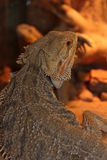 Agama. Lizard sitting in a half-turn Stock Photo