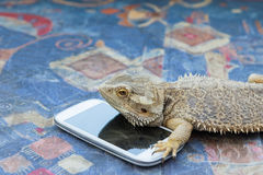 Agama lizard with smart phone Stock Image