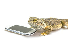 Agama lizard and the smart phone Stock Photos