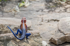 Agama lizard. Standing on a rock Royalty Free Stock Photography
