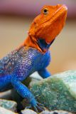 Agama Lizard Standing Tall. A colorful Agama lizard standing on rocks with head raised high.  Photo was taken in Tanzania, Africa Stock Images