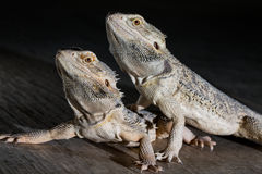 Agama lizards on the black background Stock Photography