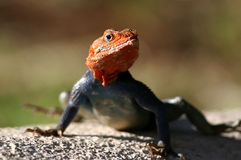 agama lizzard obrazy royalty free