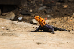 Agama lizzard Stock Afbeelding