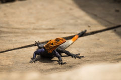 Agama lizzard Royalty Free Stock Images