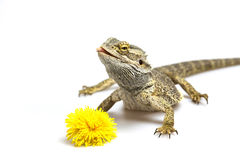 Agama is looking up. Dandelion is in front of her. Stock Photos