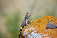 Agama lizard. Agama is the name of the genus of a group of small, long-tailed, insectivorous lizards, and the common name of these lizards Stock Photography
