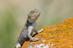 Agama lizard. Agama is the name of the genus of a group of small, long-tailed, insectivorous lizards, and the common name of these lizards Royalty Free Stock Image