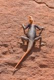 Agama in Namib Stock Photography