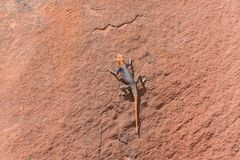 Agama in Namib Stock Image