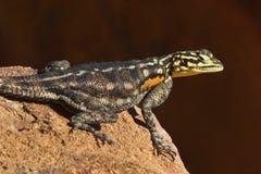 Agama namibiano della roccia Immagini Stock
