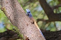 Agama på ett träd i den Marakele nationalparken, Sydafrika Royaltyfria Bilder
