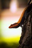 Agama peninsulare della roccia/verso sud agama indiano della roccia Fotografia Stock Libera da Diritti