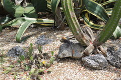 Agama. A picture of an agama basking in the sun stock photos
