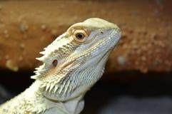 Agama. Pogona Vitticeps.  The detail of the head Royalty Free Stock Photo