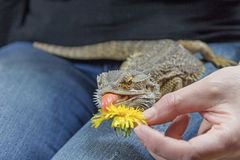 Agama with a protruding tongue is eating dandelion Stock Image