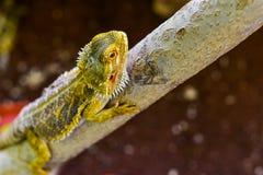Agama pustynia, tło, zbliżenie, brodaty Zdjęcie Royalty Free
