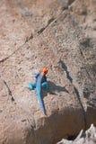 Agama Red-headed de la roca imagenes de archivo