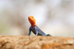 Agama Red-headed de la roca (Agama del Agama) fotos de archivo
