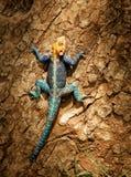 Agama Red-headed della roccia Fotografia Stock