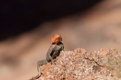 Agama agama - red-headed lizzard in Africa Stock Photos