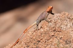 Agama agama - red-headed lizzard in Africa. The common agama, red-headed rock agama, is a species of lizard from the Agamidae family found in Africa stock photography