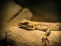Agama relaksuje i grże w świetle Fotografia Stock